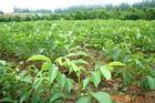 核桃苗价格、绿化苗价格、果树苗价格