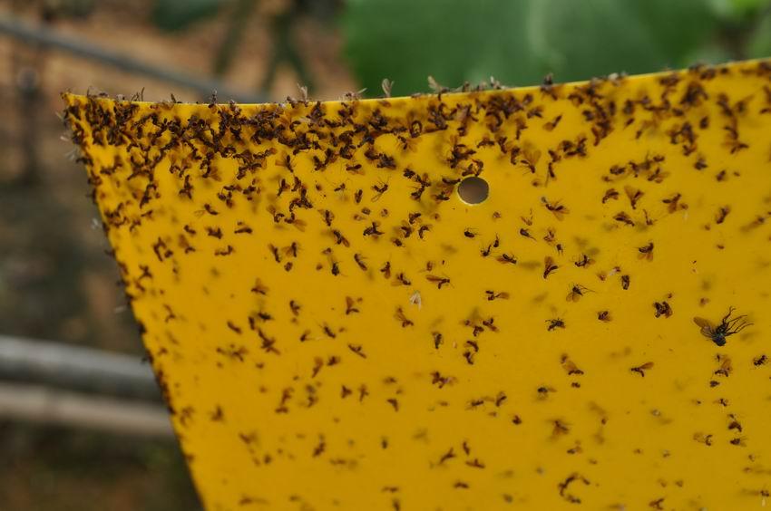 攀枝花批发诱虫板杀虫板粘虫板报价10张起发