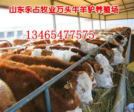 滁州肉牛价格 滁州养牛场