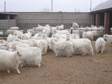 肉羊养殖利润分析供应信息