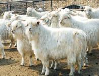 山羊养殖场