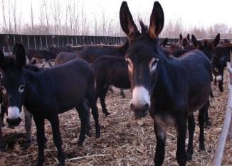 2013年肉驴养殖行情怎么样
