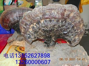 松针层孔菌、桑黄桦褐孔菌斑褐平盖灵芝树舌灵芝