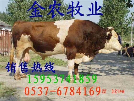 辛集肉牛养殖场肉牛价格夏洛莱肉牛有直升机