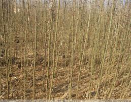 2米花椒苗 优质花椒苗