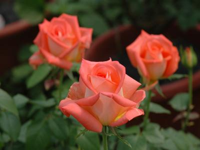 玫瑰的价值,昌盛为你解答