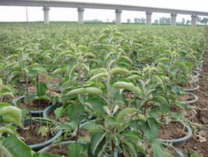 寒富苹果树GM256北美海棠及接穗