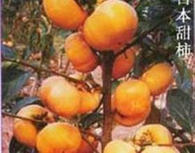 供应甜柿子苗甜柿子苗价格