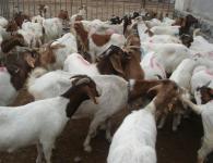 肉羊波尔山羊养殖技术小尾寒羊价格价格