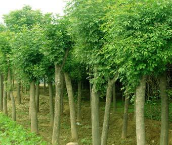 白蜡树苗价格|保定白蜡苗木批发|优质白蜡生产基地
