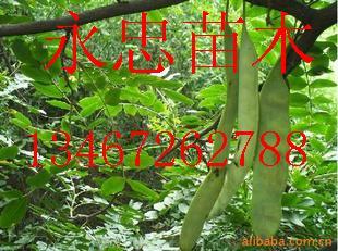山西皂角苗,皂角树,药用皂角苗