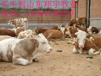 育肥鲁西黄牛牛犊养殖 牛犊价格