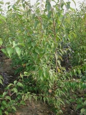 一年生山杏苗与GM256接穗