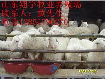 菏泽有高腿小尾寒羊羊苗要出售