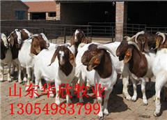 波尔山羊母羊,羊羔,育肥肉羊,夏洛莱羊