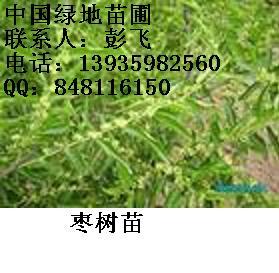 枣树苗山西枣树苗培育基地枣树苗价格