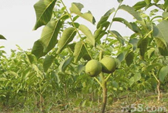 核桃苗供应皂角苗基地