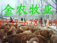 波尔山羊养殖视频波尔山羊价格肉羊养殖技术肉羊种羊养殖