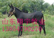 山东肉驴养殖 种驴驴苗育肥养殖