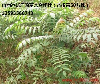 香椿苗出售、2年生80-1.5米香椿苗