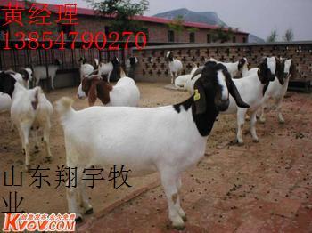 山东纯种波尔山羊1-6养殖基地