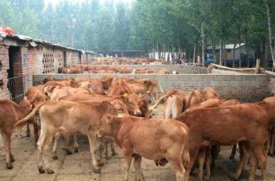 鲁西黄牛养殖  鲁西黄牛价格  鲁西黄牛图片