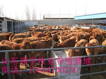 育肥肉牛养殖行情 肉牛种牛牛犊技术概论