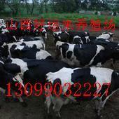 山西省肉牛养殖场/出售肉牛/出售奶牛/出售育肥牛