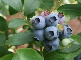 蓝莓提取物,金针菇提取物
