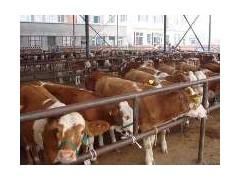 育肥肉牛犊养殖 翔宇牧业提供