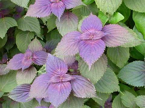 厂家生产供应紫苏提取物5:1 10:1 20:1比例提取物
