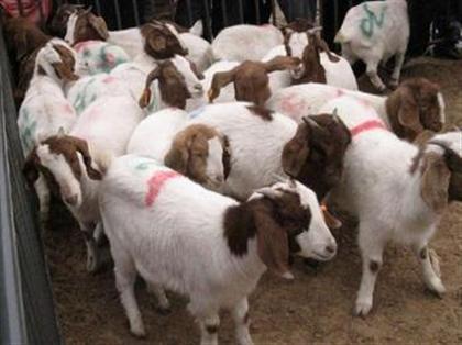 种羊价格 波尔山羊种羊价格