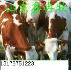 江苏徐州肉牛养殖场肉牛养殖技术