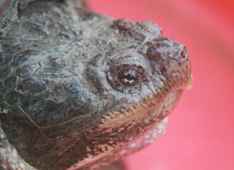 佛鳄龟养殖前景分析----养殖业又一座金矿