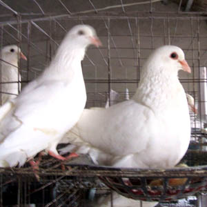 12笼位鸽笼 3层鸽笼 养鸽设备 鸽笼 广式鸽笼