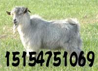 青山羊的养殖