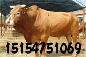 专业养殖鲁西黄牛