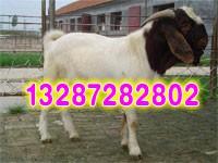 波尔山羊最新价格报价,波尔山羊养殖技术