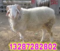 小尾寒羊养殖技术、临床症状及防治措施