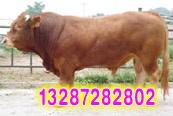 利木赞牛产品报价、养殖技术、图片
