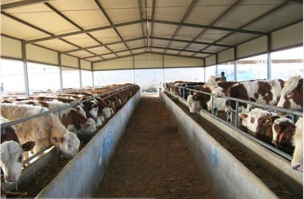 规模养羊如何搞好防疫-肉牛养殖|肉驴|波尔山羊|小尾寒羊