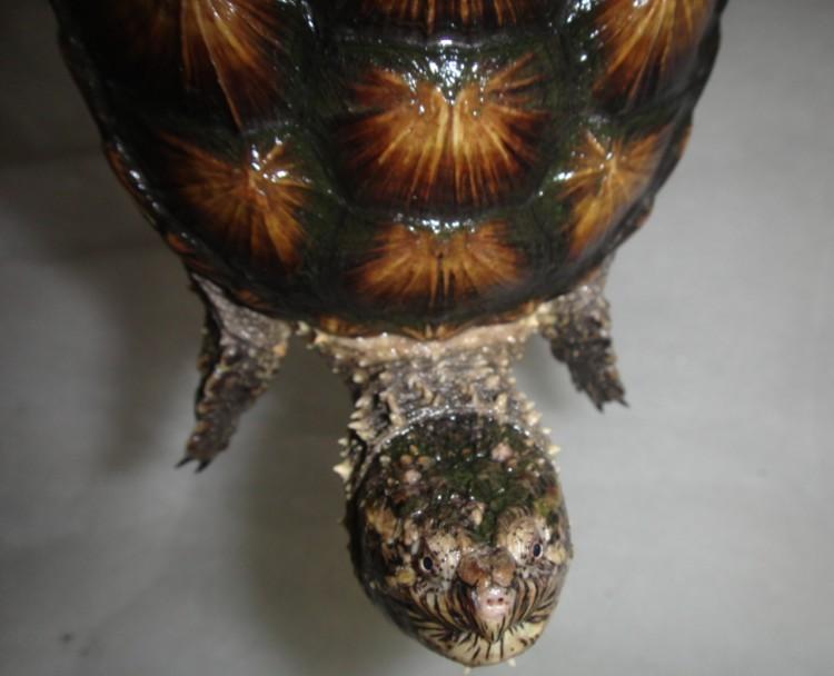 信宜佛鳄龟养殖场出售90只金甲爆刺的2012年佛鳄龟亚体龟