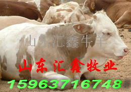 山西改良肉牛犊养殖基地