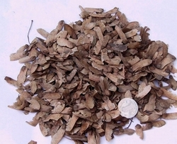 三角枫种子