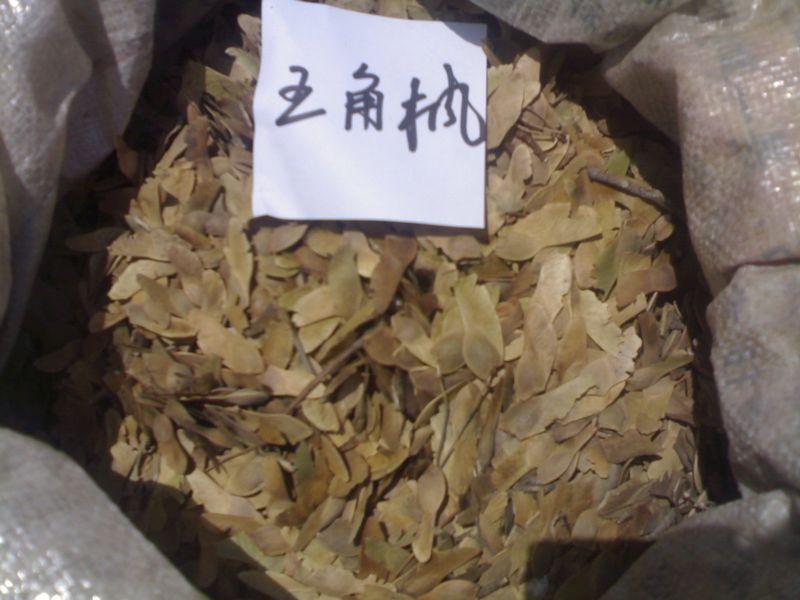 五角枫种子