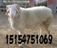 专业养殖小尾寒羊 肉羊图片