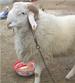 小尾寒羊改良肉羊黑头杜泊绵羊养殖效益