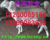 新疆小尾寒羊供求市场阿克苏小尾寒羊销售价格阿克苏小尾寒羊养殖