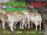 纯种杜泊羊养殖基地杜泊羊规模养殖管理技术