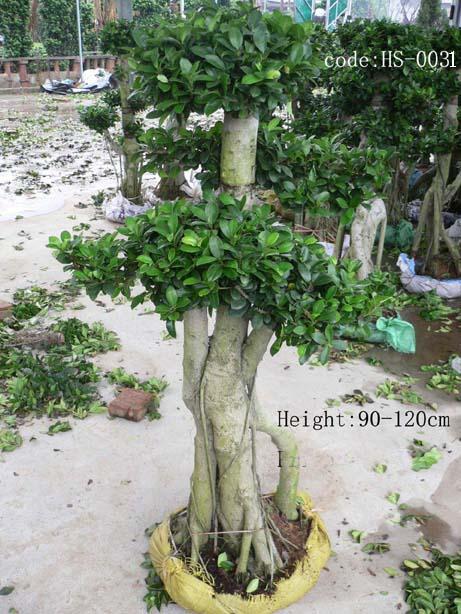 造型榕树 香樟 青皮竹 粉单竹 琴丝竹